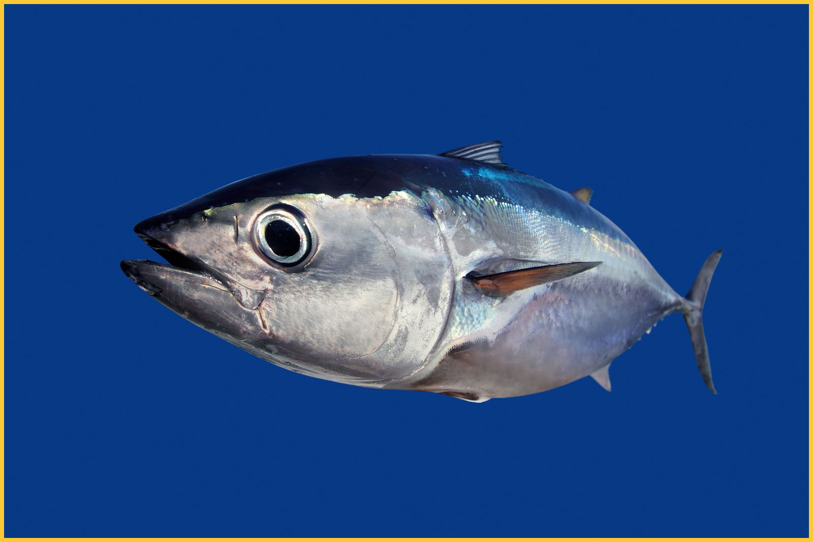 20 hour bluefin tuna fight fishing tackle to catch for Is tuna fish good for you